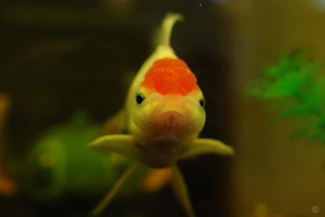 ブサイク金魚